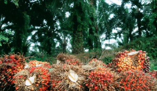 Legally harvested palm oil