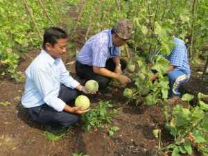 Honeydew harvest in Sering Village